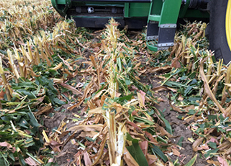 Stalk residue dropped on top of the row