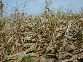 Polehlá kukuřice