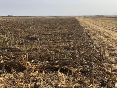 Le maïs endommagé par le vent peut être très difficile à récolter